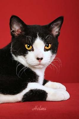 American Wirehair: American Cat, American Wirehaired, Cat Americanwirehair, Cat Meow, Art American, Nostril Black, Cat Breeds, Ani Cat, White Cat