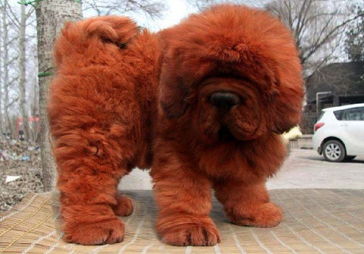 https://www.askideas.com/media/24/Orange-Tibetan-Mastiff-Dog-Outside.jpg