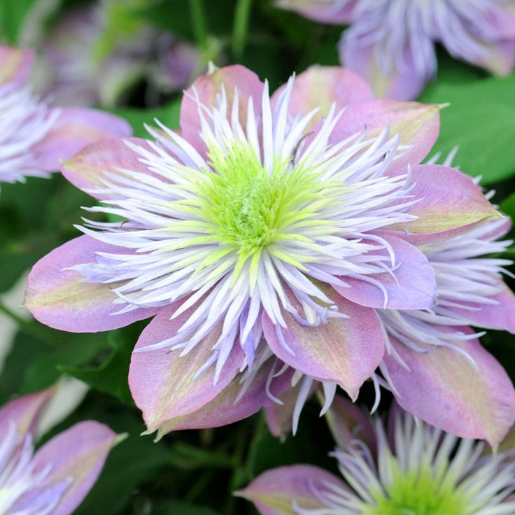 Clematis 'Crystal Fountain' (Large Plant) - Clematis Plants - Thompson & Morgan