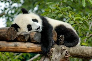 Every panda has it's purpose and this one is because it lives in my heart
