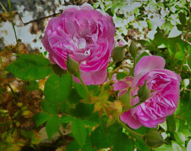 M  o   m   e   n   t   s   b   o   o   k   .   c   o   m: Τα όμορφα  ροζ τριαντάφυλλα, ροζαμάπες στην κεφαλλ...