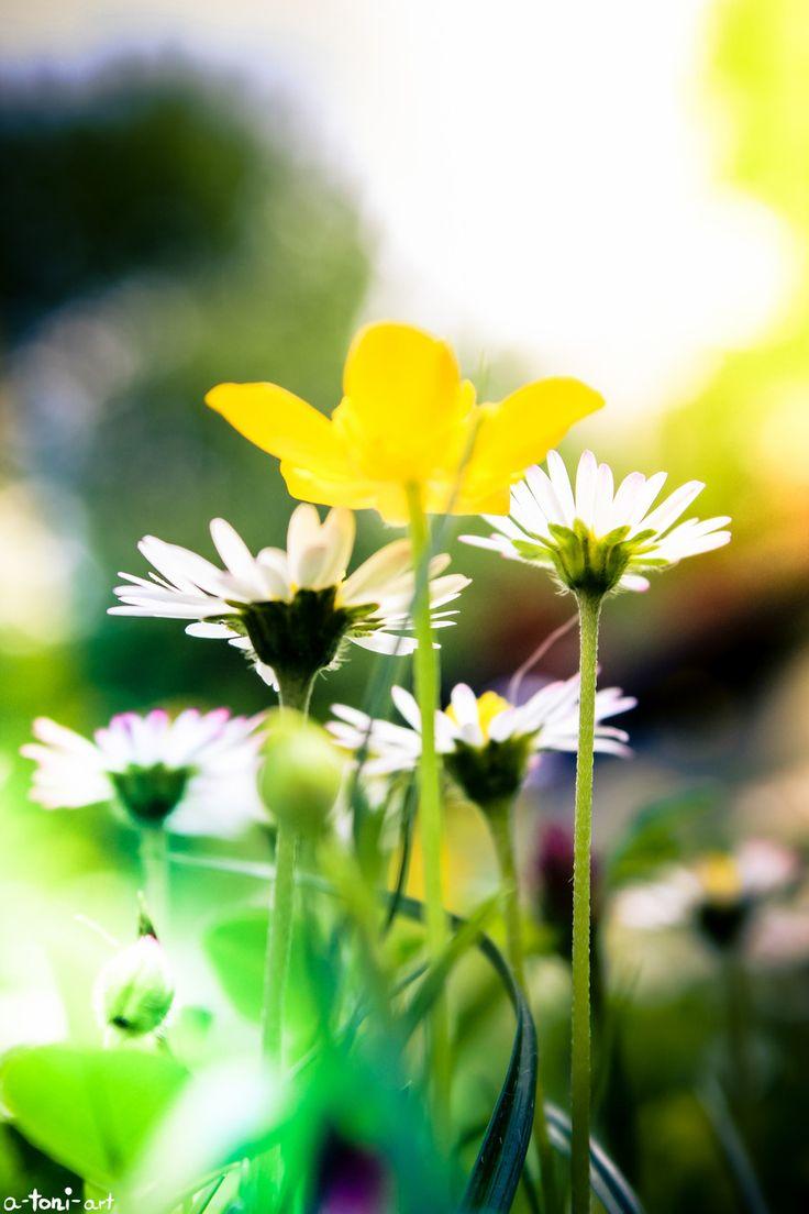 Daisy Daisies Yellow Flower Gelbe Blume Gelb Flowers Blumen Green Grün Wiese Field Makro Macro Photography Fotografie Flora ranunlcolo Nature Natur
