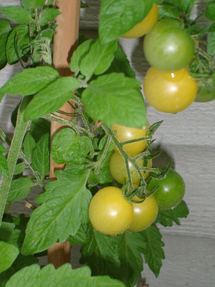 One of the most prolific plants in my garden is the Lemon Drop tomato. This beauty is a sport from Snow White cherry plants, a happy accident, of which most gardeners like myself love. It produces sweet large cherry tomatoes with a golden color and lovely scent.
