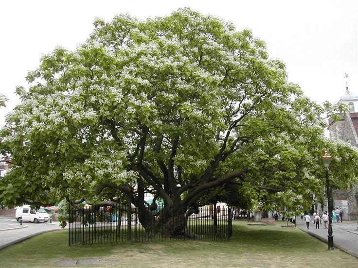 catalpa | Rochester Catalpa Tree - Gallery
