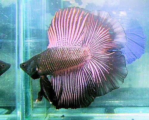 Black Orchid Dt Double Tail Like Betta Betta Fish Fish