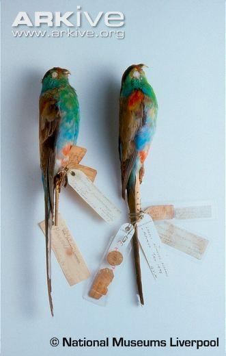 Paradise parrot specimens