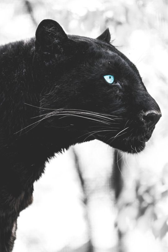 Superior Luxury — cknd: Black Leopard | more