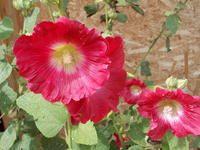 Reine marguerite -> Zinnia- Graines del Pais, semences biologiques