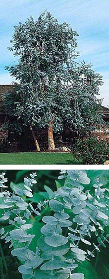 Eucalyptus tree grows to about 40 ft tall, 10-12 ft wide. and a great pest repellent.