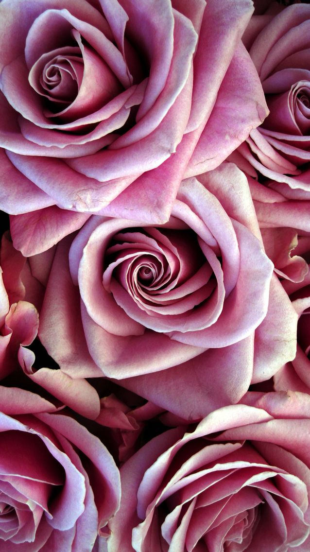 Nature wallpaper iPhone flowers pink roses