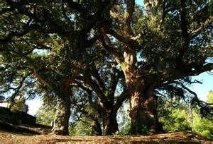 Alcornoque (del árabe. al= el, del  latín. quercus= encina.)  Árbol de copa muy grande, corteza con una capa gruesa, agrietada y algo esponjosa, de la que se extrae el corcho, y cuyo fruto es la  bellota.  CLASES PARTICULARES, FORMACIÓN, RECUPERACIÓN ACADÉMICA A DOMICILIO    www.enclase.com.mx