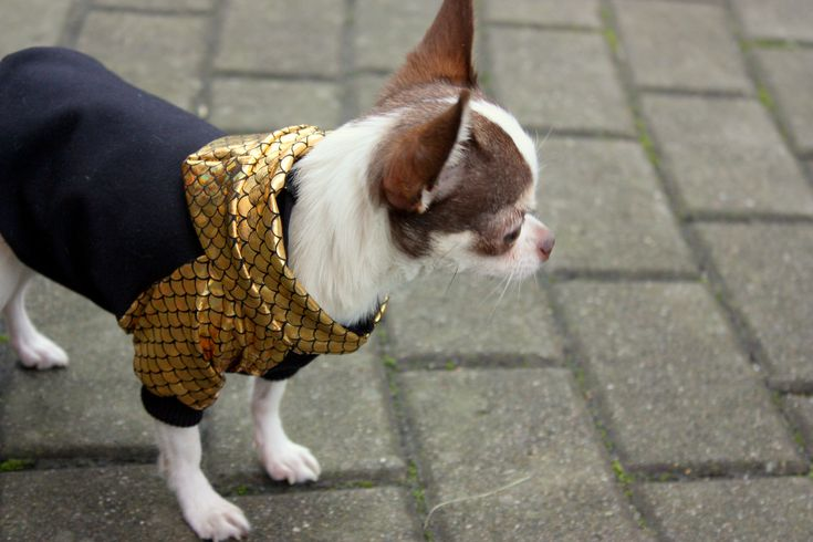 Designer hand-made dog hoodie with gold hood and sleeves. Perfect choice for stylish dog #chihuahua #chihuahuaclothes #dogclothes #dog #cutedogs #funnydogs #handmade #dogsweater