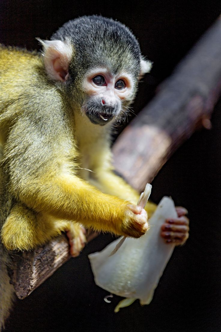 Squirrel monkey with salad in the hand Squirrel, Cute