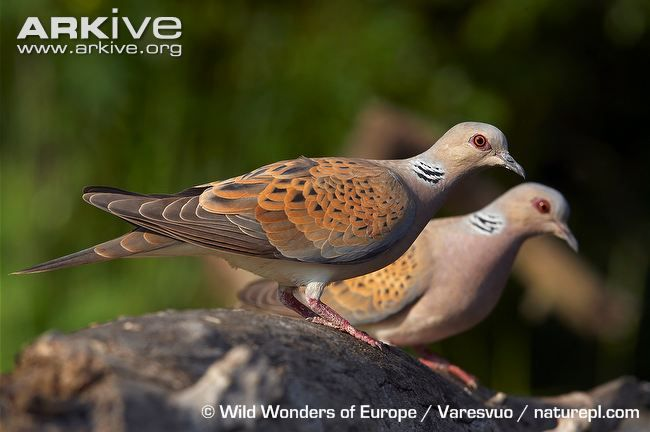 turtle doves - Google Search