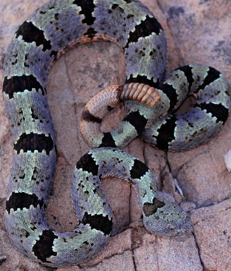 Banded Rock Rattlesnake (Crotalus lepidus klauberi) | Flickr - Photo Sharing!