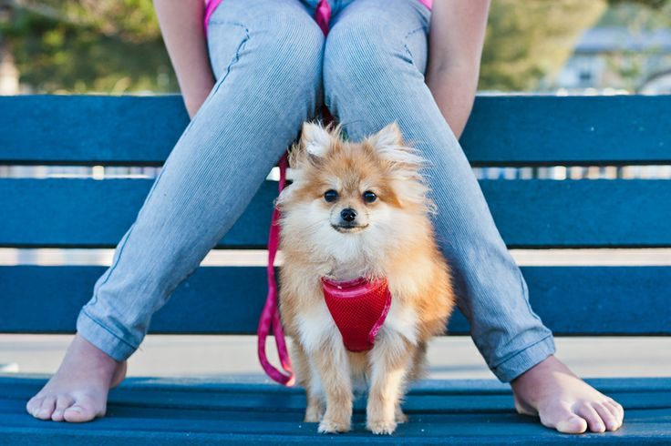 Anna & Pikachoo the Toy Pom #dogs #animalphotography #doglovers
