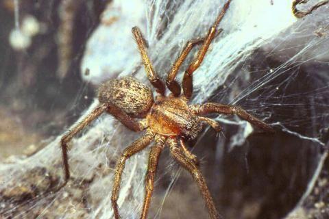 Hobo Spider (Tegenaria agrestis)