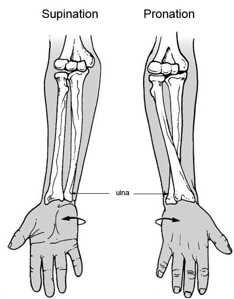 Wrist Pronation Supination Humerusradiusulna Pinterest Hand