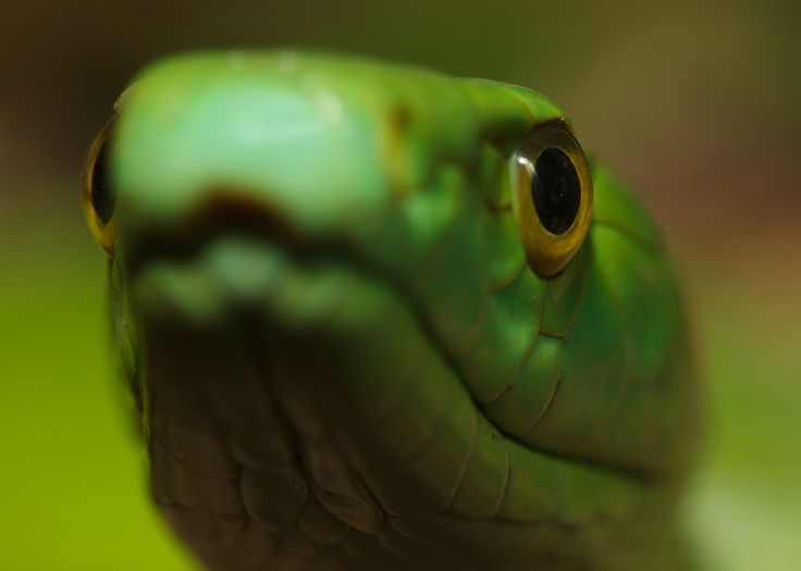 Dendroaspis viridis - null
