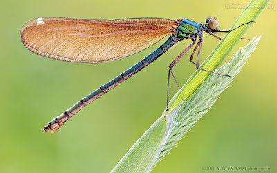 O significado da libélula | .Portal Holus - Escola Flor da Vida