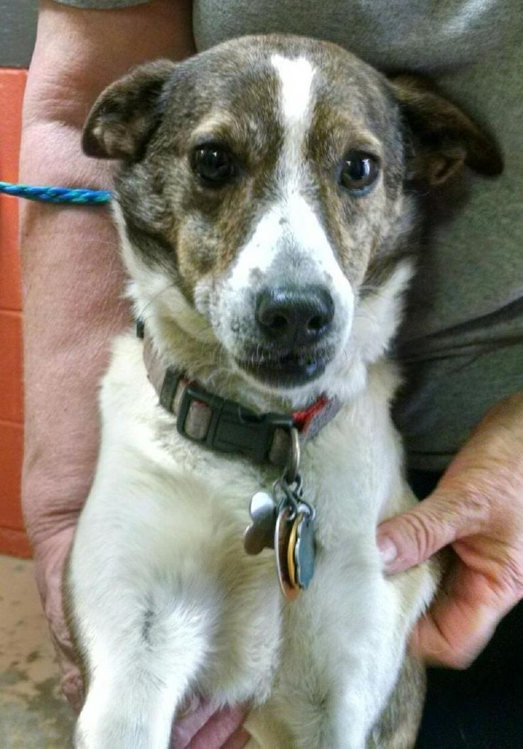 Meet+Scarlett,+a+Petfinder+adoptable+Collie+Dog+|+Hazlet,+NJ+|+Scarlett+is+one+of+the+SWEETEST+dogs+ever!!+She+is+as+calm+and+gentle+as+can+be.++She+gets+along...