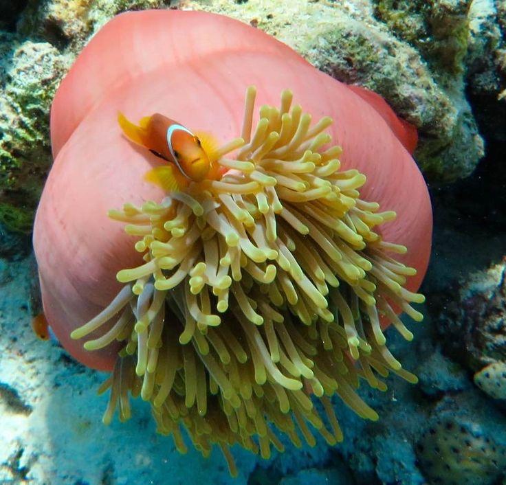 Clown fish Snorkeling time