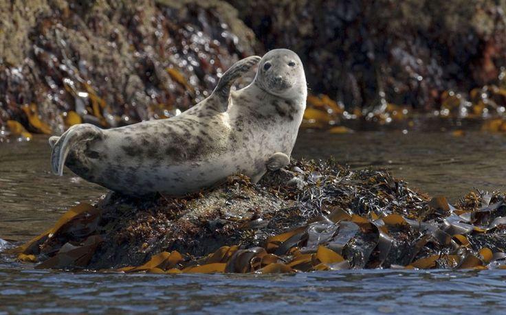 Atlantic Grey Seal... Hi there!