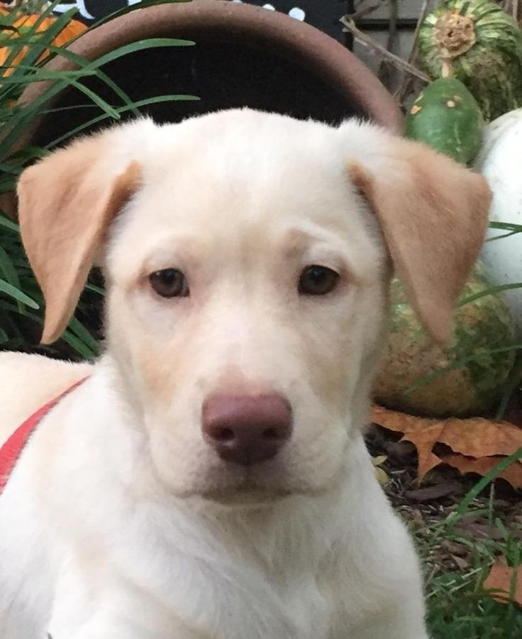 Martin is an adoptable Labrador Retriever searching for a forever family near Manchester, NH. Use Petfinder to find adoptable pets in your area.