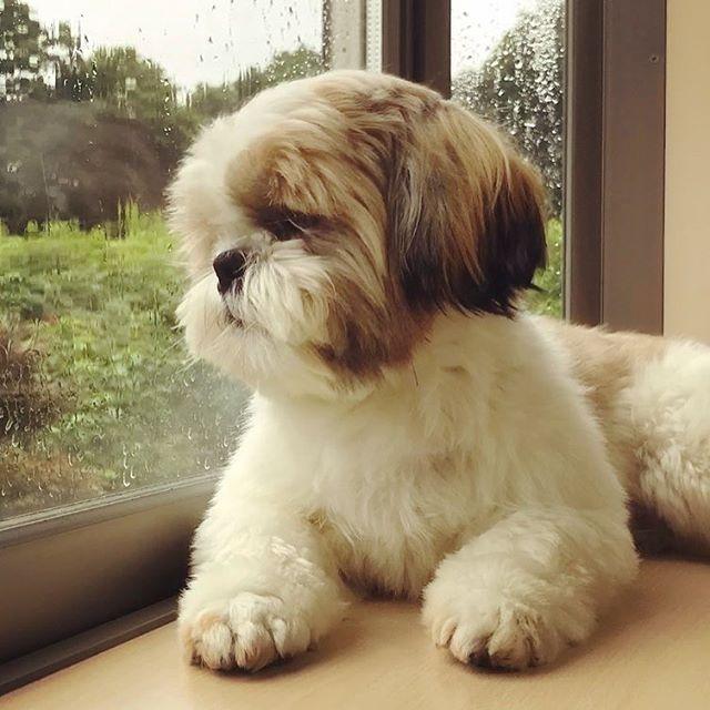Shih Tzu Dog Enjoying The View Shitzu Puppies