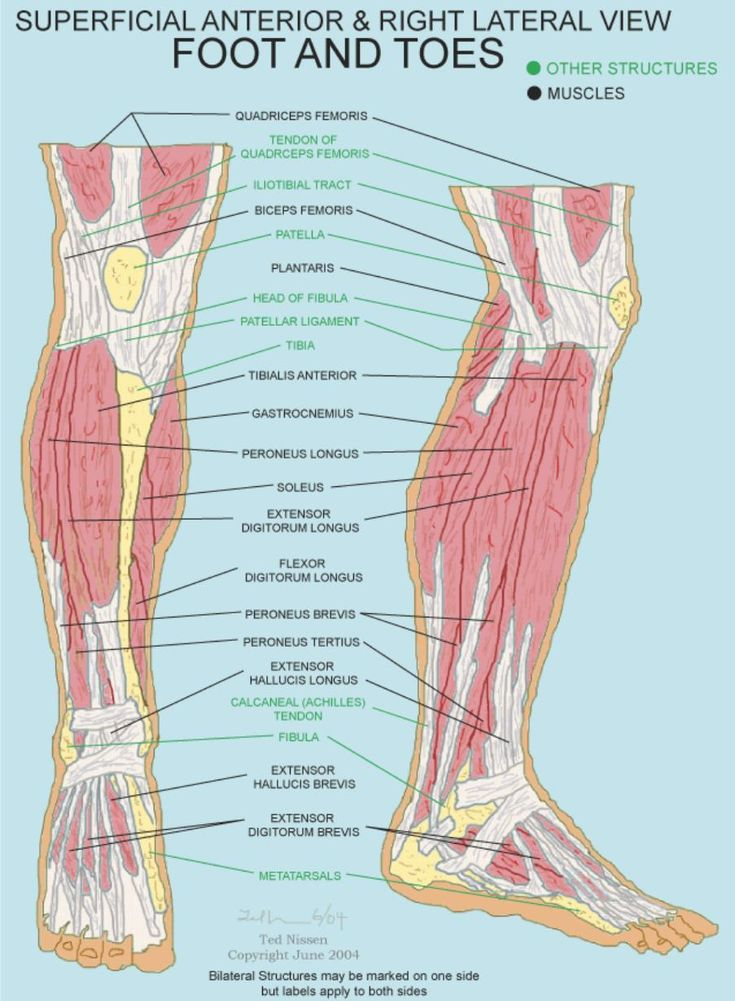 Foot Anatomy Lateral View