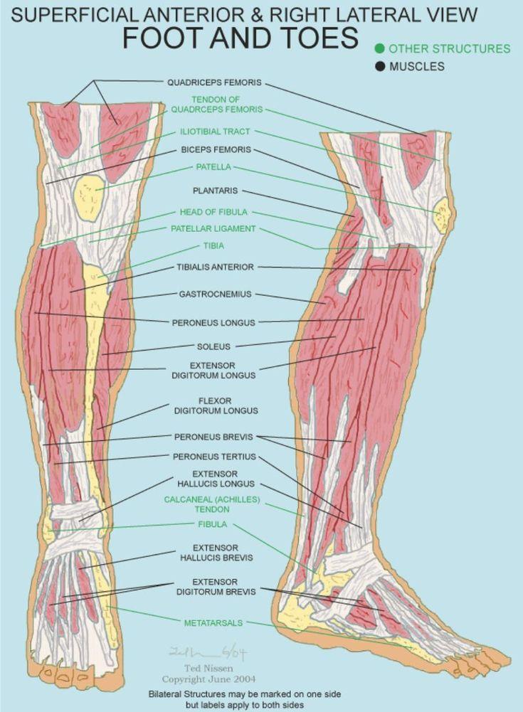 Anterior foot anatomy