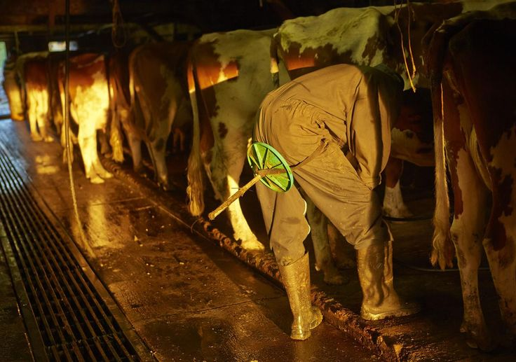 Cheesemaker and farmer Alexandre Murith milks the cows at the Proveta pasture in Gruyeres, on June 13, 2013.