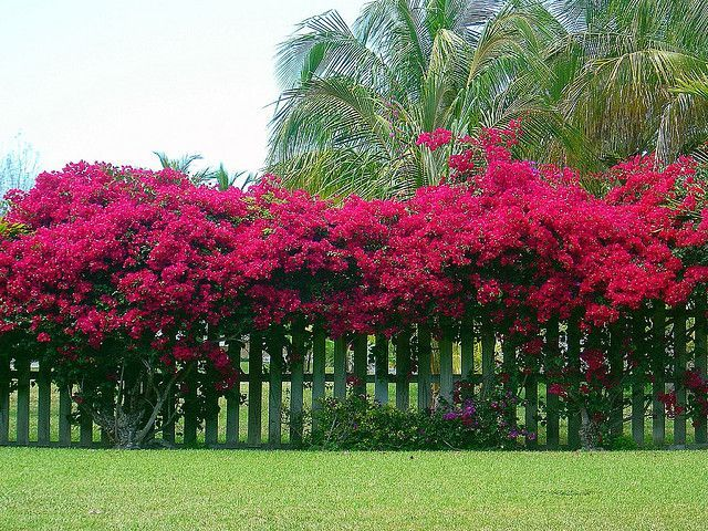Bougainvillea On Fence Google Search Evergreen Plants