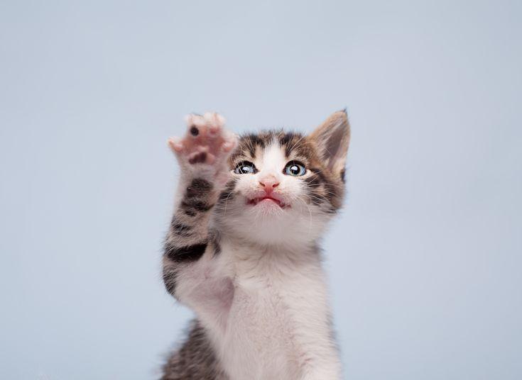 Pudotteleeko+kissasi+tavaroita+lattialle?+Asiantuntija+kertoo,+miksi+kissat+tekevät+niin