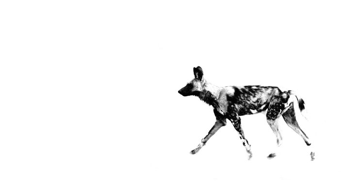 B&W panoramic print of a wild dog
