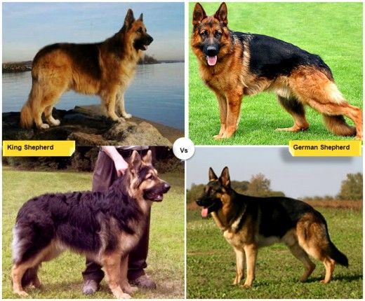 German shepherd vs american german shepherd