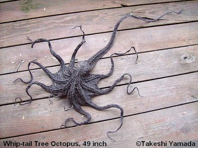"The whip-tailed tree octopus. According to Yamada: ""It is the largest species of tree octopus indigenous to Snake Island. This specimen is a 49-inch adult female. [The] tree octopus is an extremely rare terrestrial octopus with modified gills (similar to the lungfish and frog) and thick, dry skin for terrestrial life [in] wetland and rainforest. Unlike the common eight-legged sea dwelling octopus, all the tree octopus[es] have ten legs (just like the common squid and cuttlefish)."