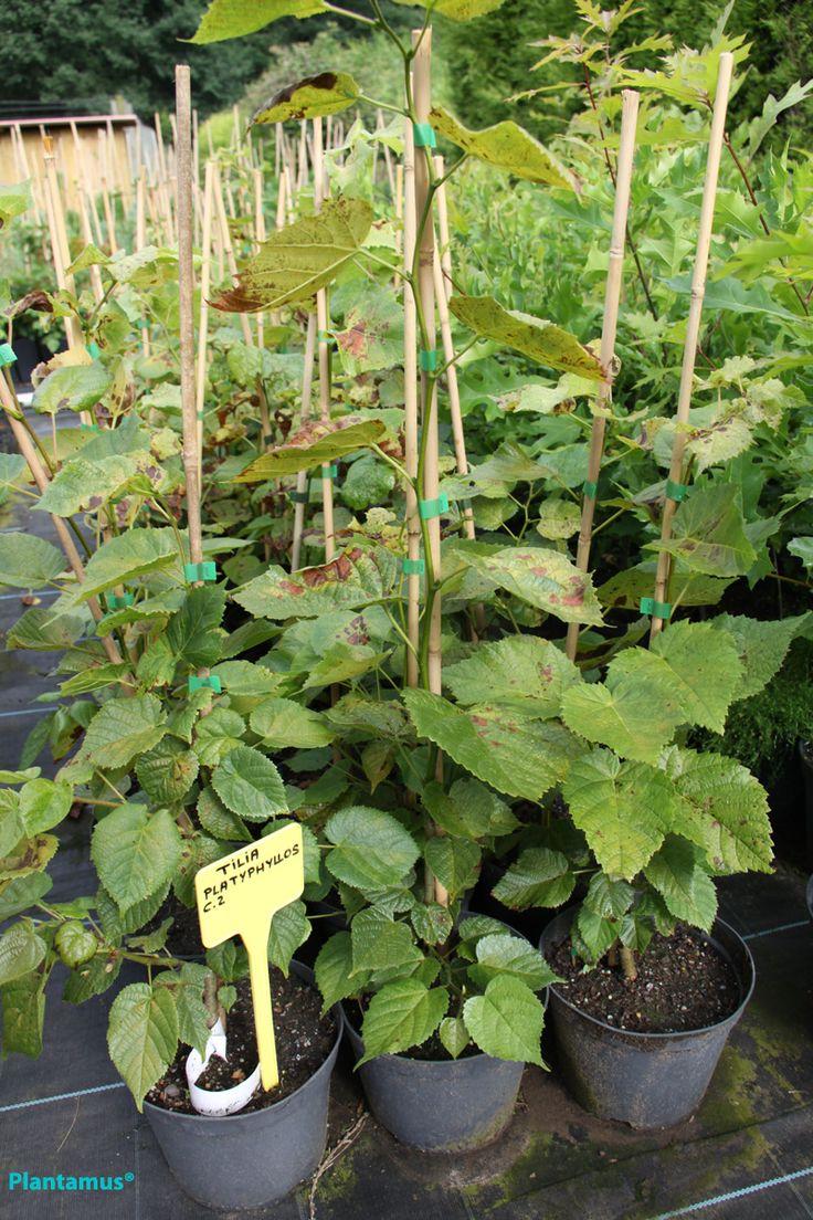 Tilos en maceta, listos para plantar todo el año www.plantamus.es/ARBOLES-ARBUSTOS/venta-de-arboles