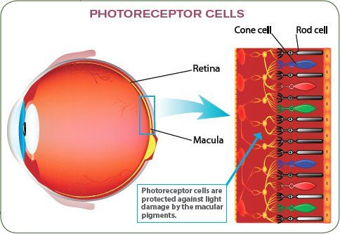 Saffron Benefits Early Age-Related Macular Degeneration