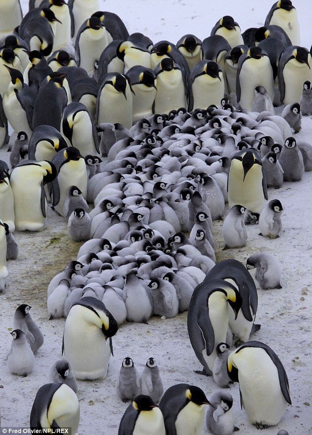 Keeping all the little ones together. Emperor Penguins form creches for their young so the...
