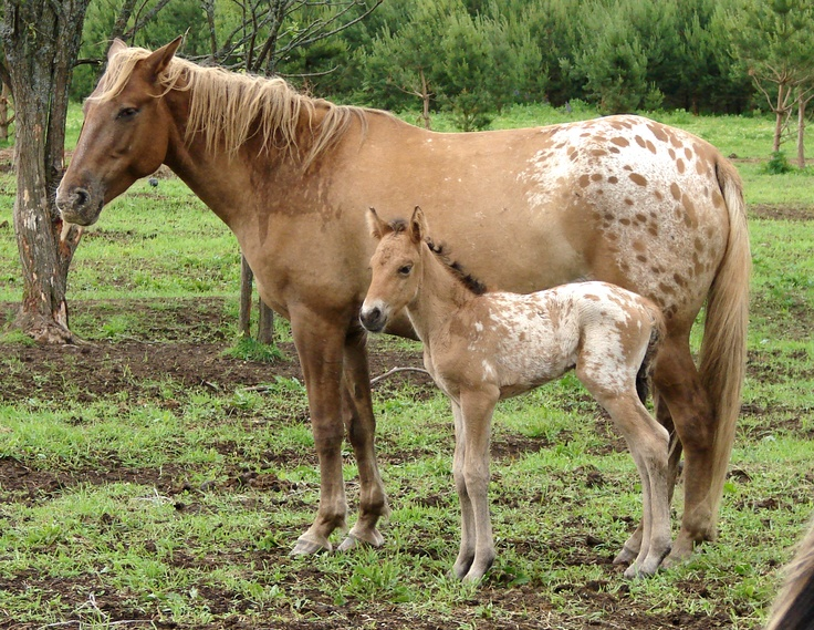 Bashkir horses