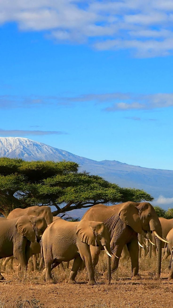 Im Hintergrund der Elefanten Herde könnt ihr den Kilimanjaro sehen! Für Trekking Liebhaber ist eine Tour auf dem Kilimanjaro ein Muss. https://www.erlebe-tansania.de/reise-bausteine/kilimandscharo-trekking/ #Tansania #Kilimanjaro #erlebeFernreisen
