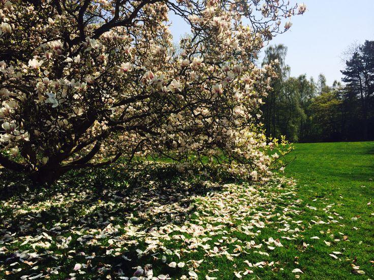 Magnolia tree/ Tulip tree/ outdoor/ Ordrupgaard/ Garden