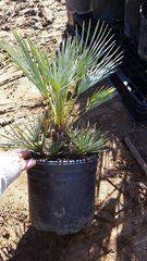 3G LARGE Chamaerops Humilis Var. Cerifera blue/silver European fan palm