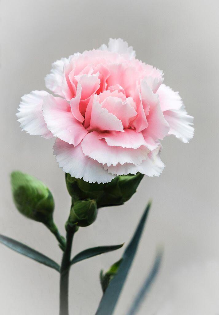 Spinetattoo Hashtag Instagram Posts Videos Stories On Inkedgram Com Carnation Flower Pink Carnations Flowers