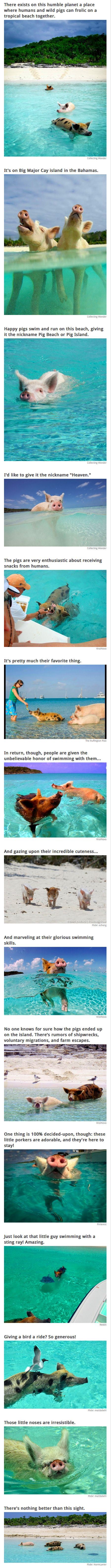 There exists on this humble planet a place where humans and wild pigs can frolic on a tropical beach together. It's on Big Major Cay island in the Bahamas. I want to go!!!