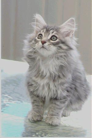 Siberian - Most Affectionate Cat Breeds