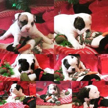 Olde English Bulldogge puppy for sale in ROCHESTER, NY. ADN-61538 on PuppyFinder.com Gender: Female. Age: 8 Weeks Old