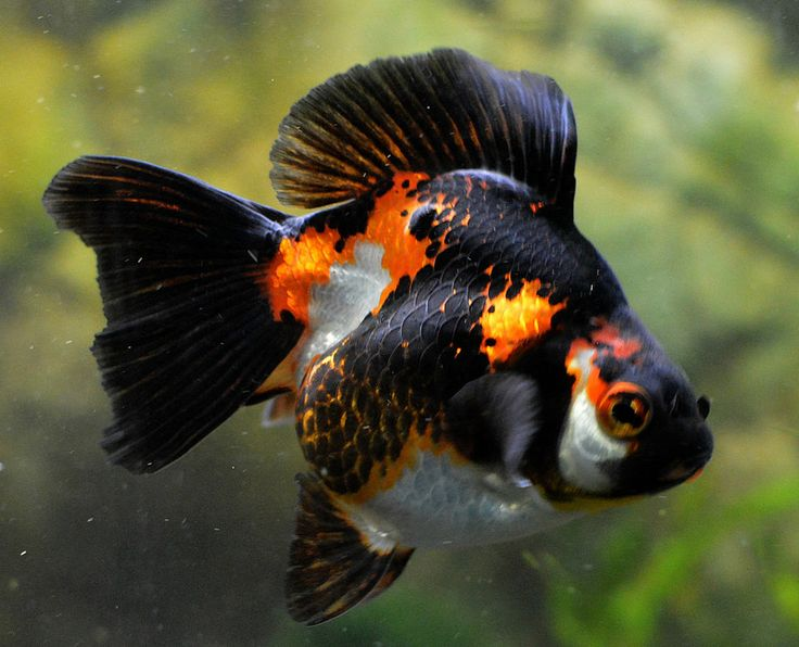 314 Best Images About Gotta Love Fantail Goldfish On