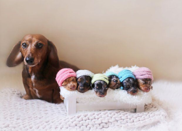 Proud sausage dog poses with her newborn puppies for an adorable photoshoot
